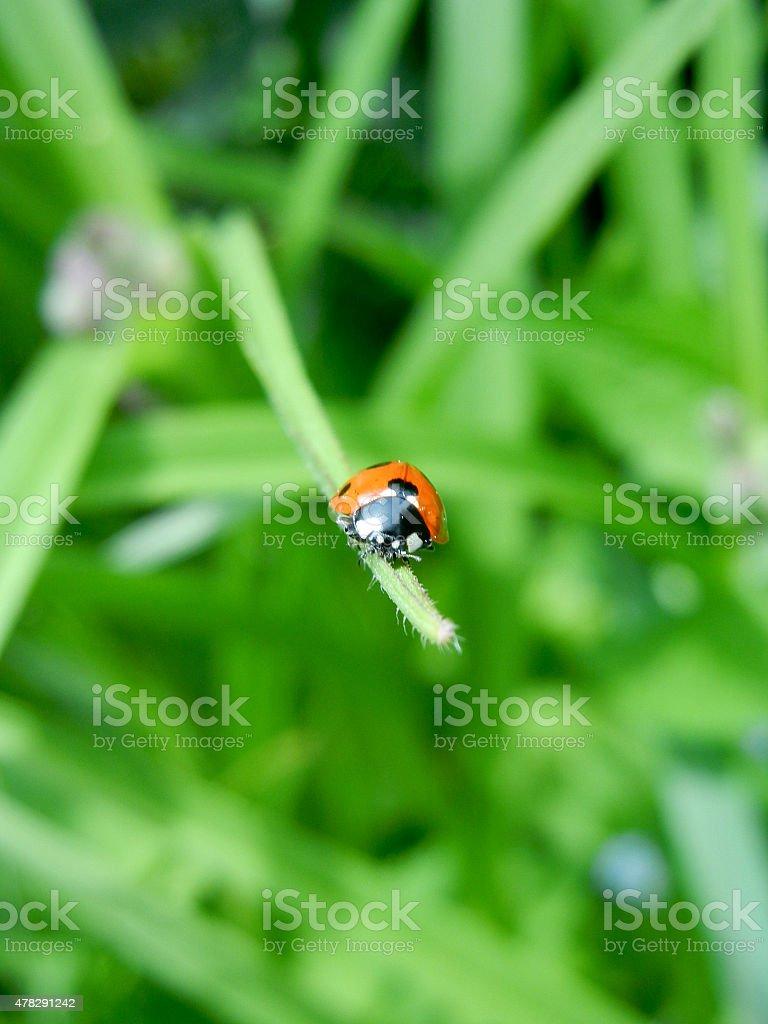 Ladybug On A Leaf stock photo