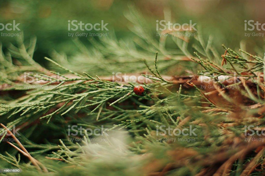 Ladybug on a leaflet royalty-free stock photo