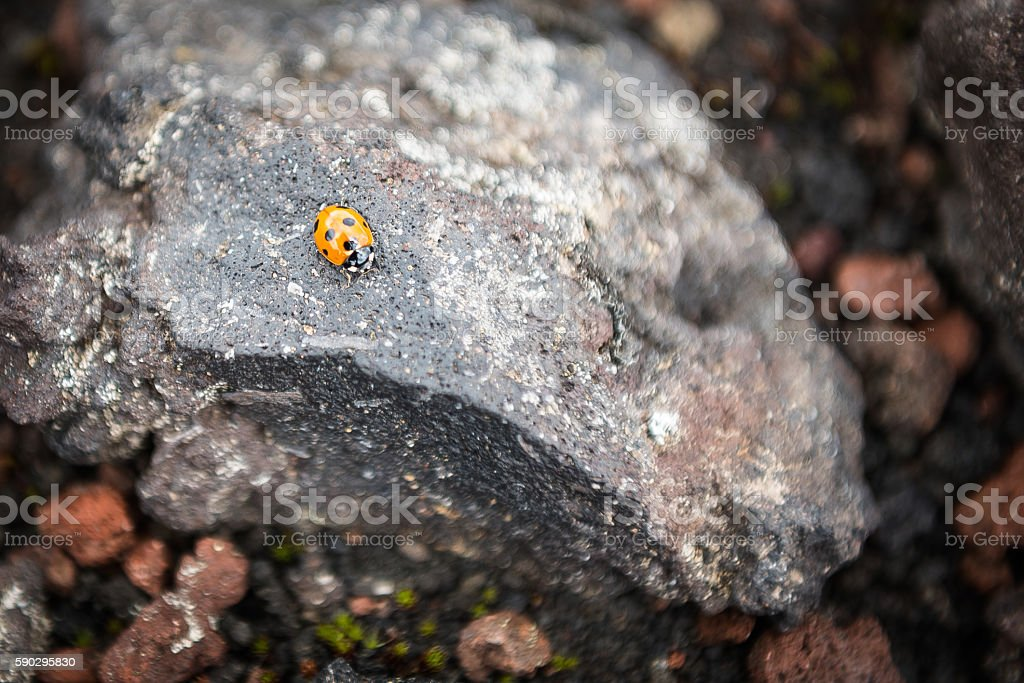 Ladybug on a rock on the slopes of Tolbachik Volcano royaltyfri bildbanksbilder