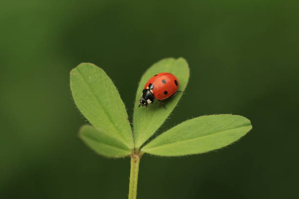 A ladybug on a shamrock with a green background stock photo
