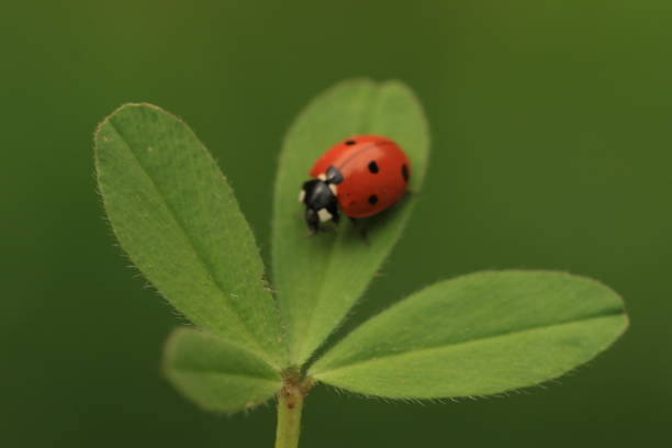 A ladybug on a shamrock with a green background