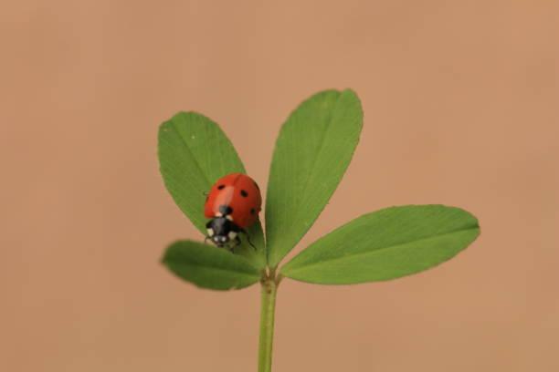 A ladybug on a shamrock with a pink background stock photo