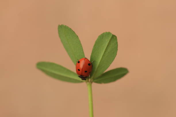 A ladybug on a shamrock with a pink background