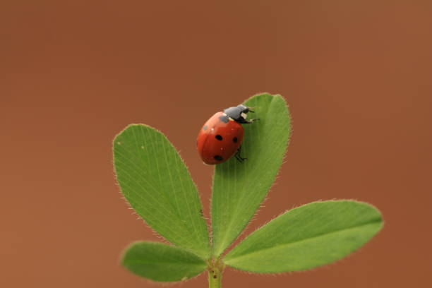 A ladybug on a shamrock with brown background stock photo