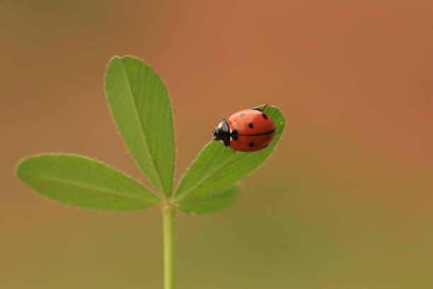 A ladybug on a shamrock with colorful background
