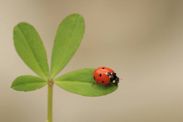 A ladybug on a shamrock with gray and brown background