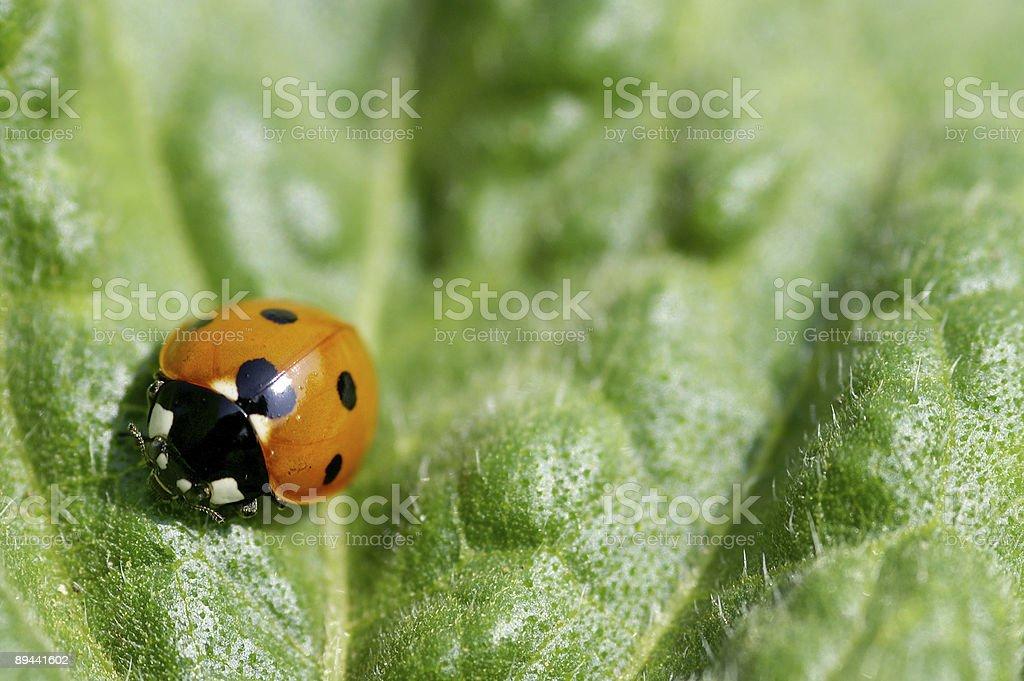 Ladybug on a sheet 2 royalty-free stock photo