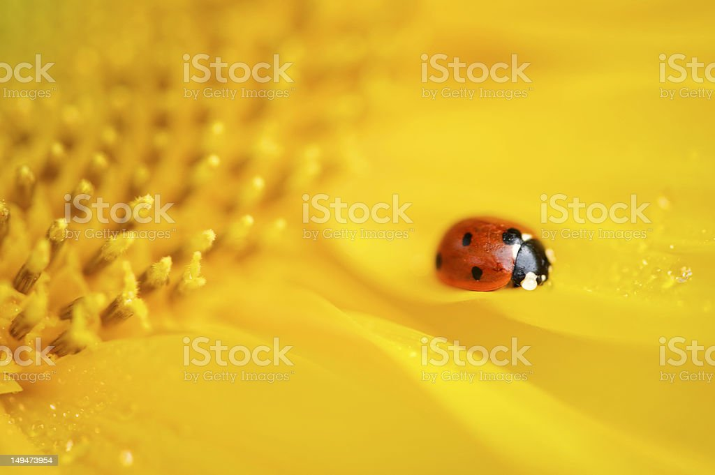 Ladybug on a Sunflower after the rain... royalty-free stock photo