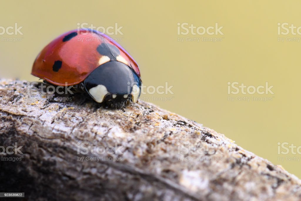 Ladybug on a wooden branch stock photo