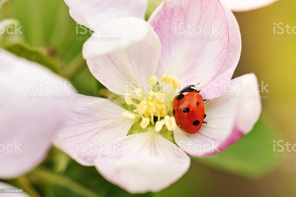 Ladybug on an Apple Blossom stock photo