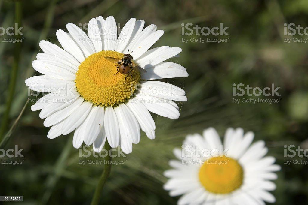Ladybug on camomile royalty-free stock photo