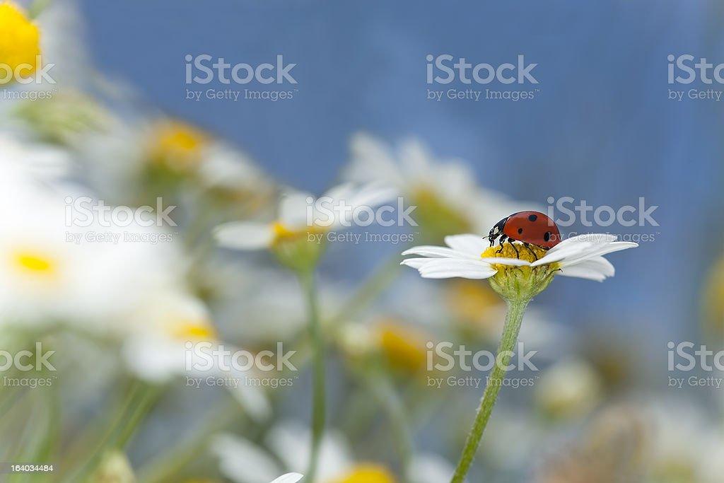 Ladybug on daisy, beautiful summer photo stock photo
