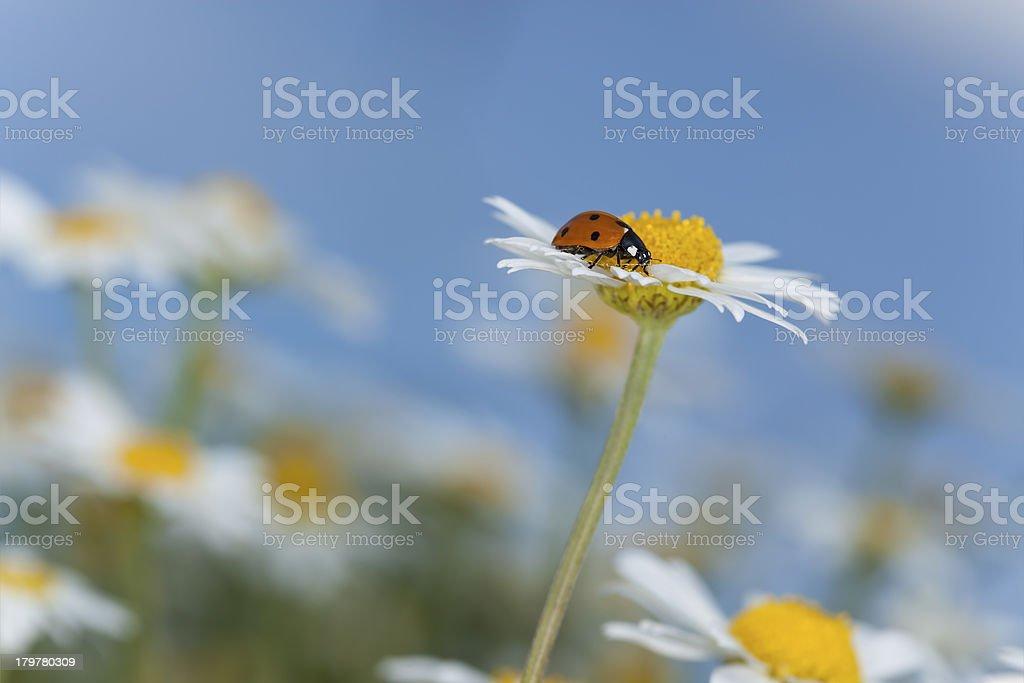 Ladybug on daisy, beautiful summer photo royalty-free stock photo