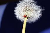 Ladybug on Dandelion.