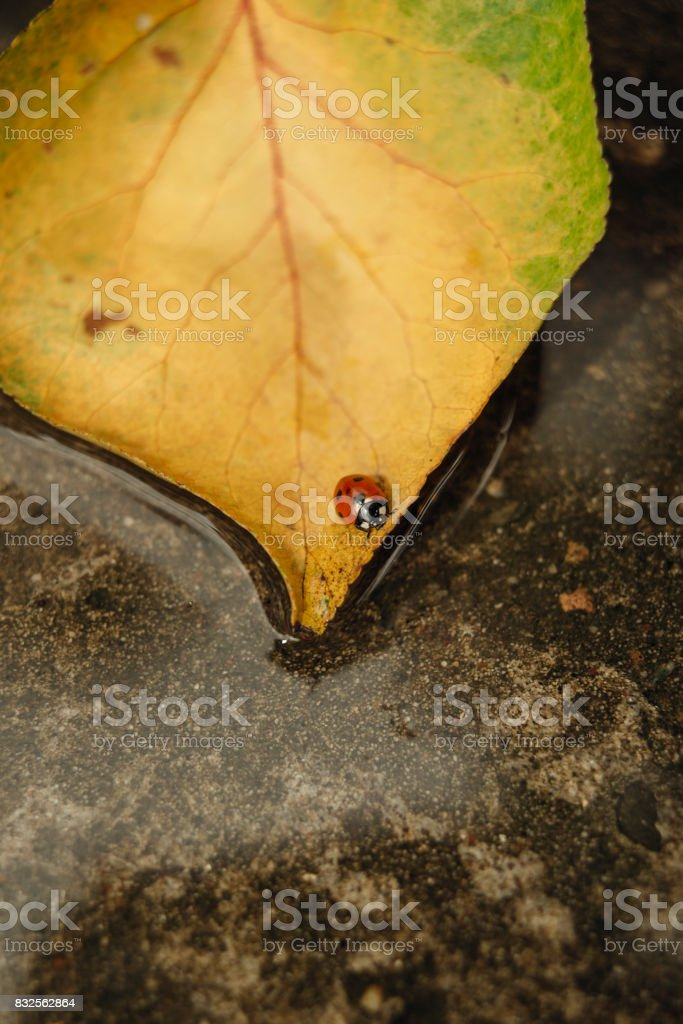 Ladybug on fallen leaves in pond stock photo