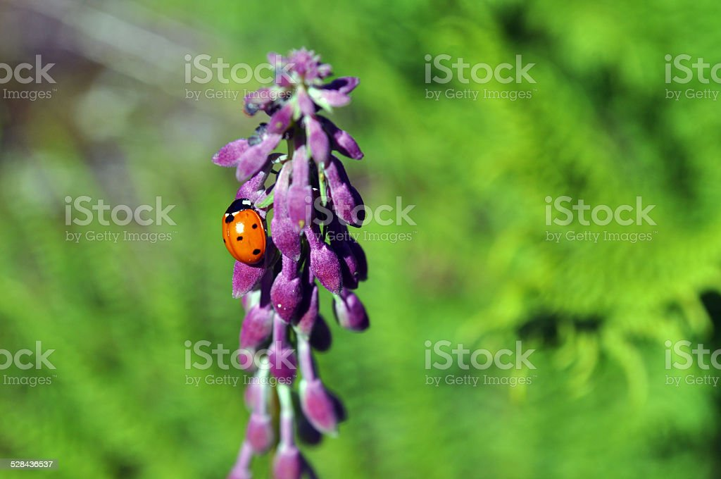 Ladybug on fireweed at Cypress Provincial Park stock photo