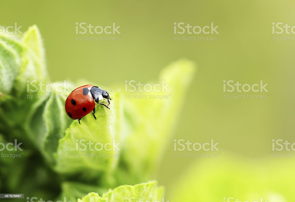 Ladybug on flower stock photo
