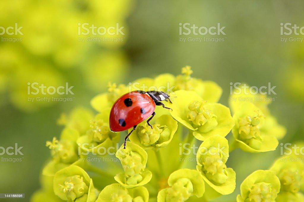 Ladybug on flowers royalty-free stock photo