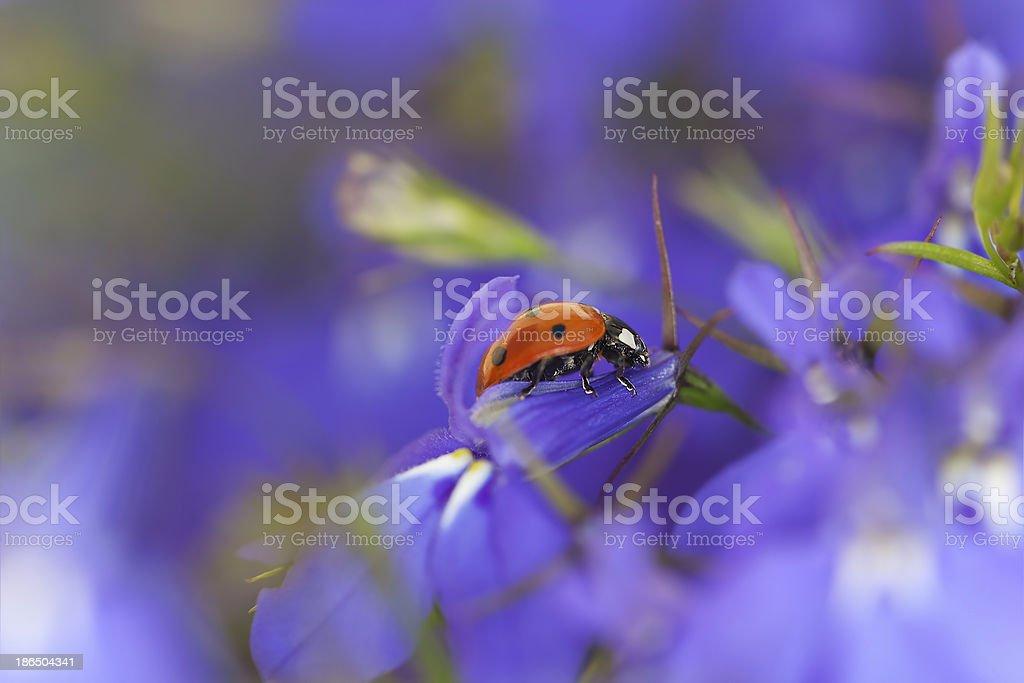 Ladybug on garden lobelia, beautiful summer photo royalty-free stock photo