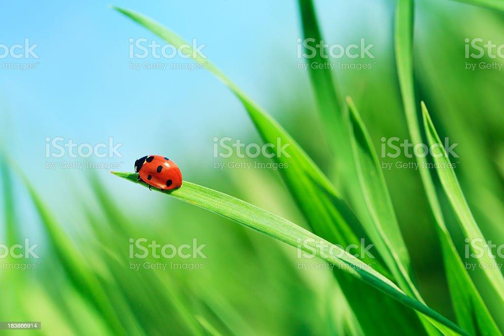 Marienkäfer auf Gras – Foto