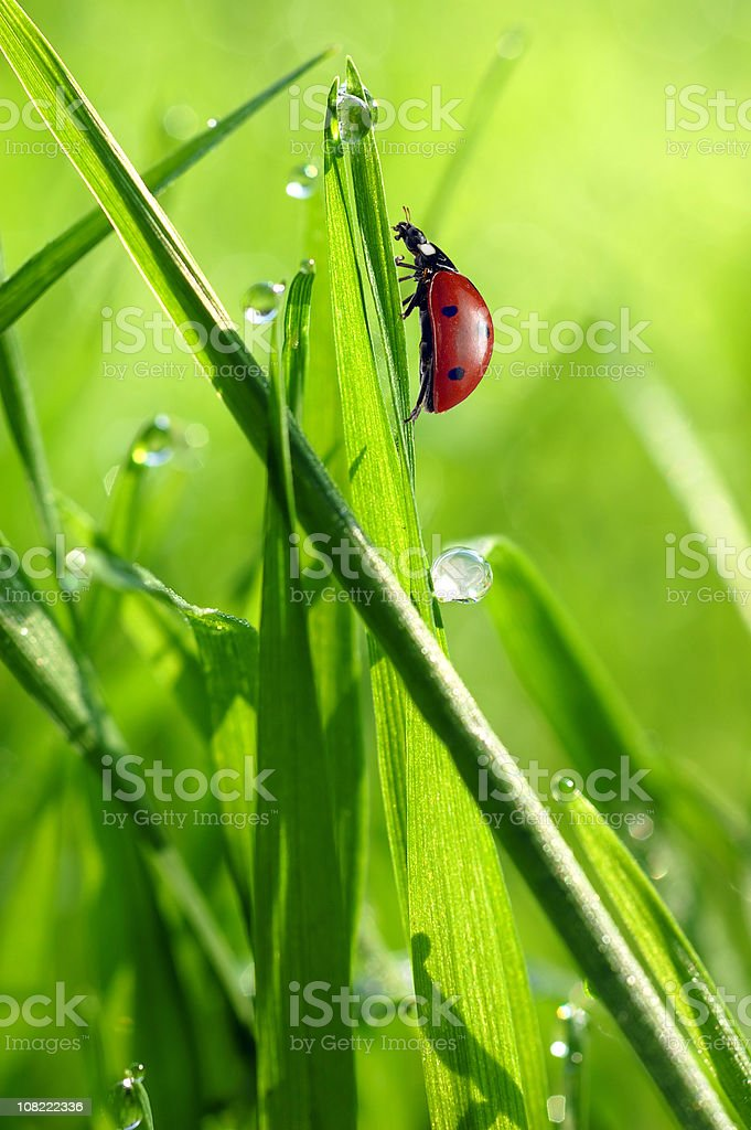 Ladybug on grass with Drops royalty-free stock photo