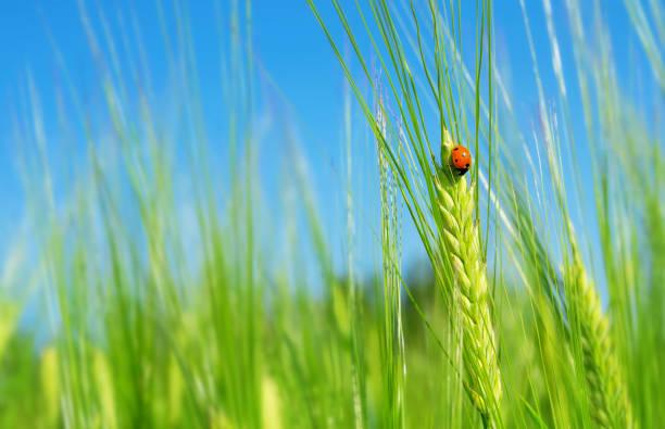 Ladybug on green barley spikelet. stock photo
