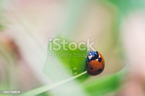 Red ladybug insect on green grass. Macro close up.