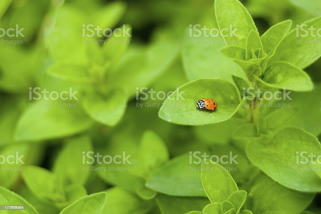 Ladybug on Herbs royalty-free stock photo
