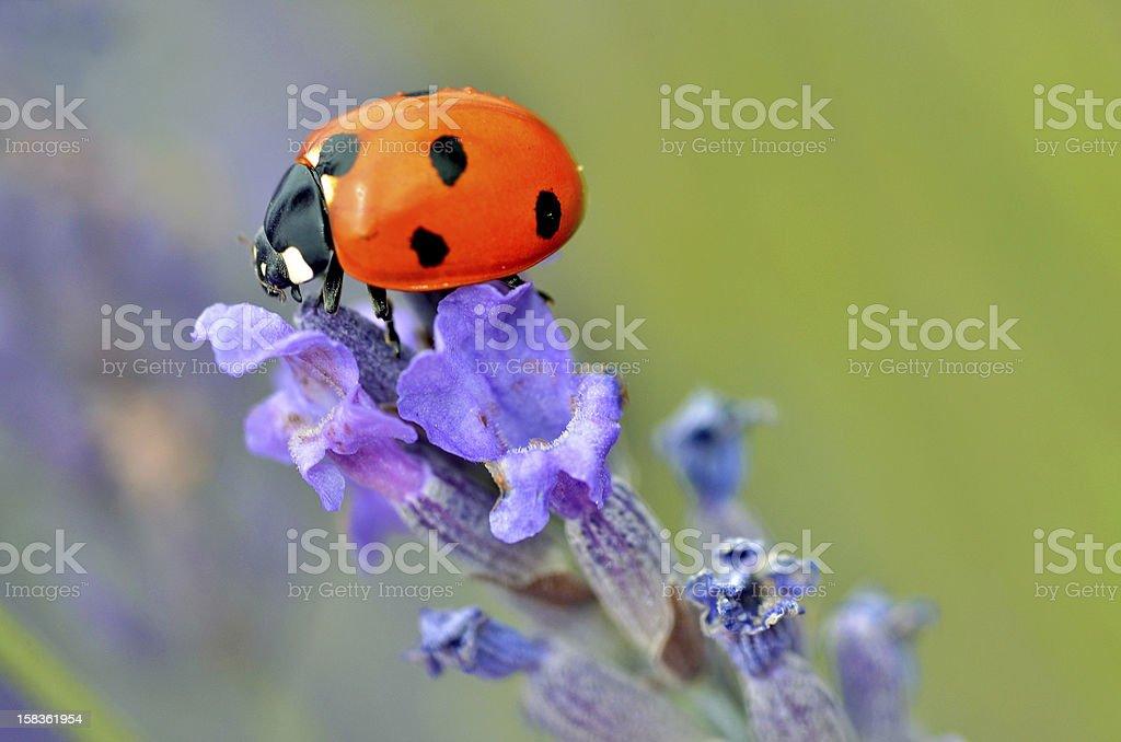 Ladybug on lavender flower stock photo