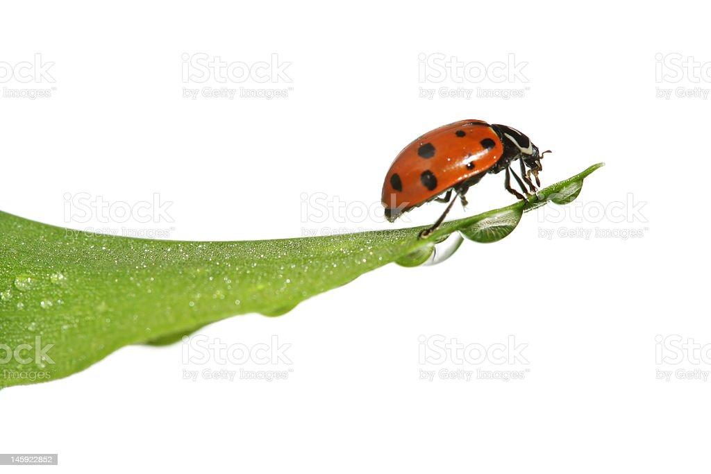 Ladybug on leaf royalty-free stock photo