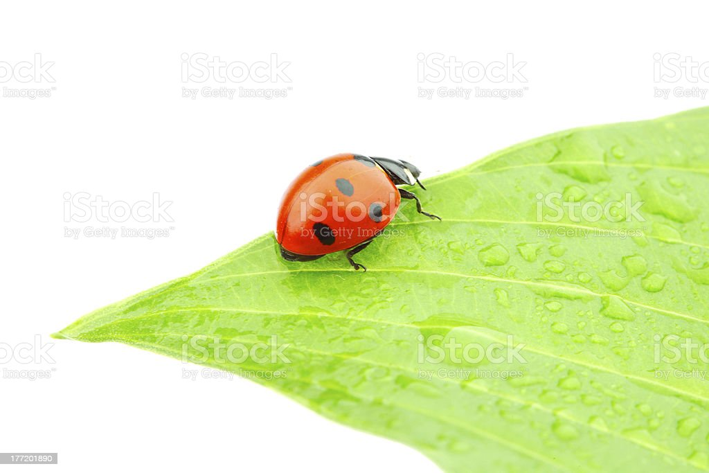 ladybug on leaf royalty-free stock photo