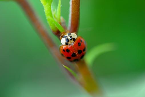 istock Ladybug on leaf 496125084