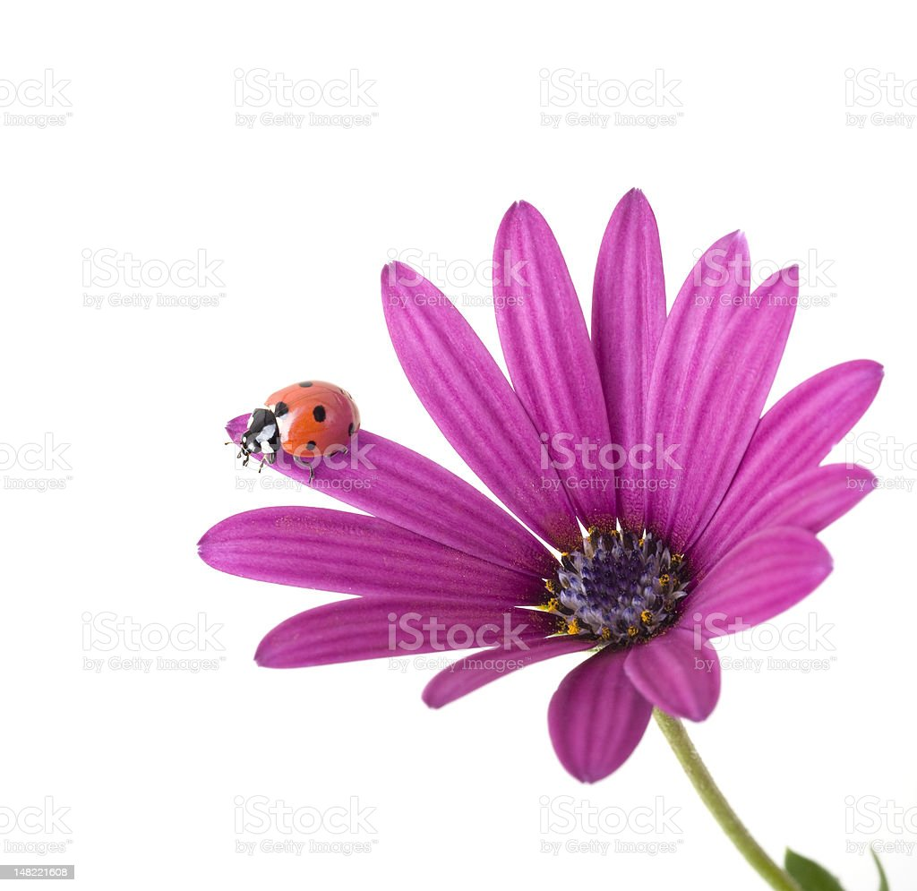 ladybug on pink flower royalty-free stock photo