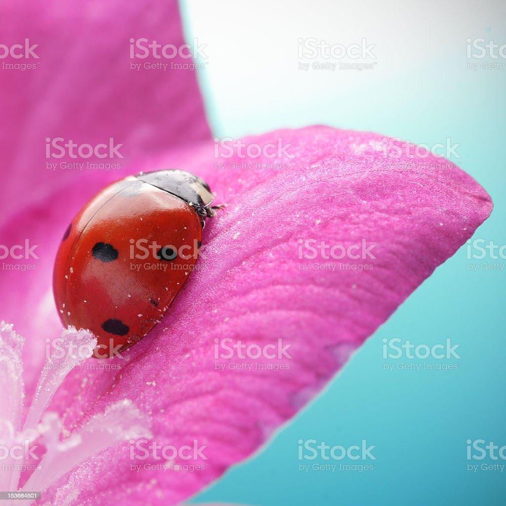 ladybug on rose petal royalty-free stock photo