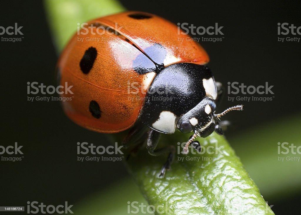 ladybug on rosemary royalty-free stock photo