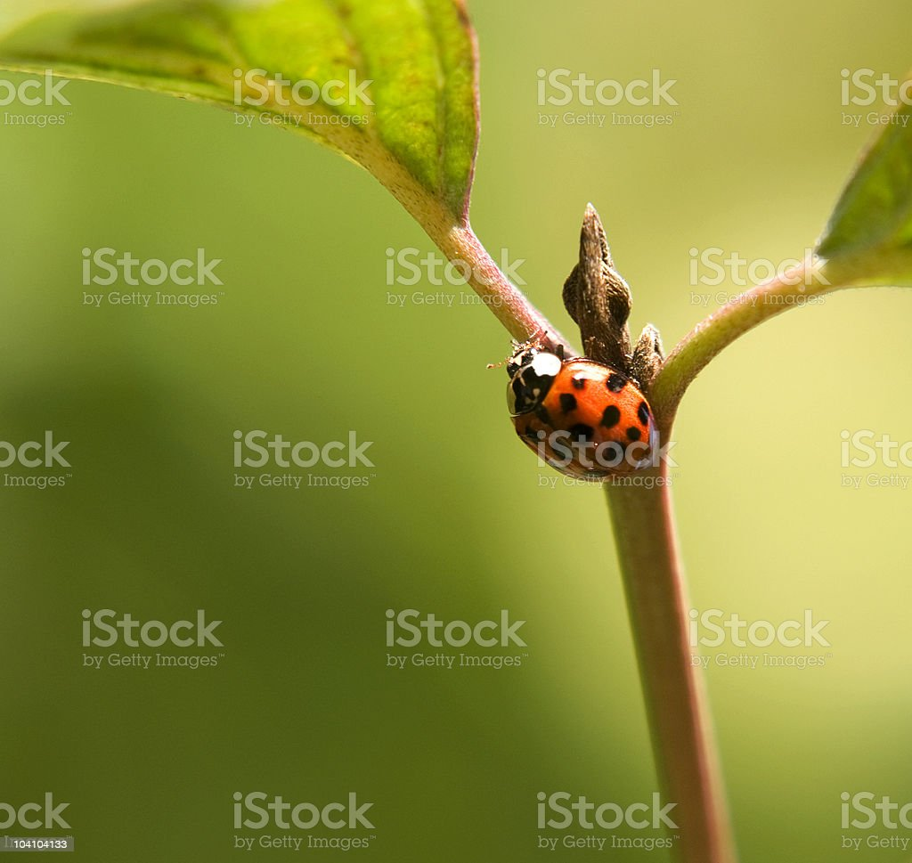 ladybug on stalk with bud royalty-free stock photo