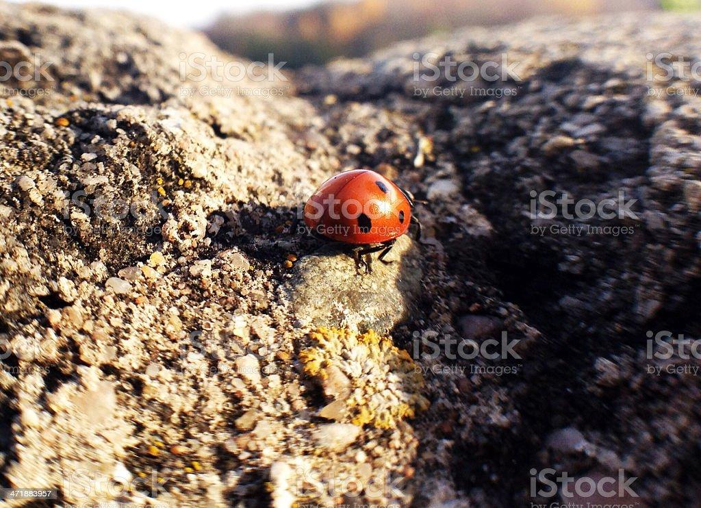 Ladybug on stone royalty-free stock photo