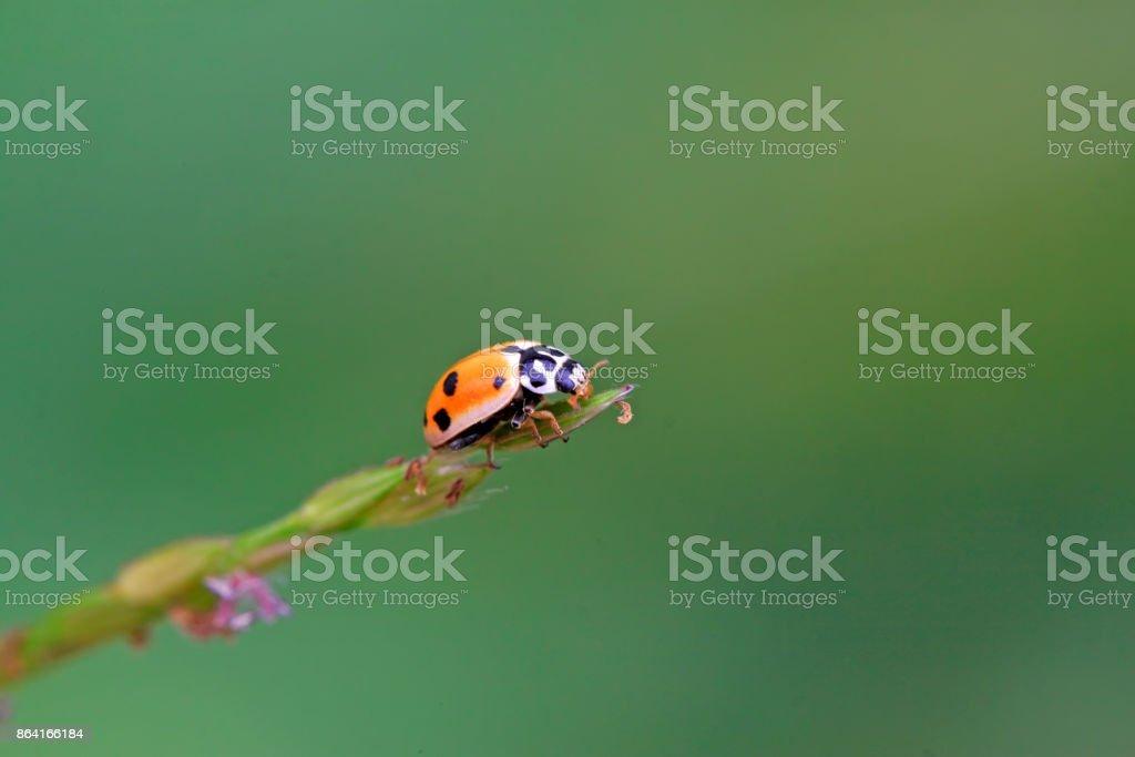 Ladybug on the grass, closeup of photo royalty-free stock photo