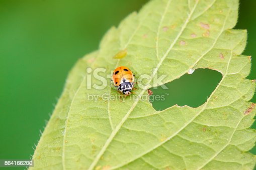 Ladybug On The Grass Closeup Of Photo Stock Photo & More Pictures of Animal