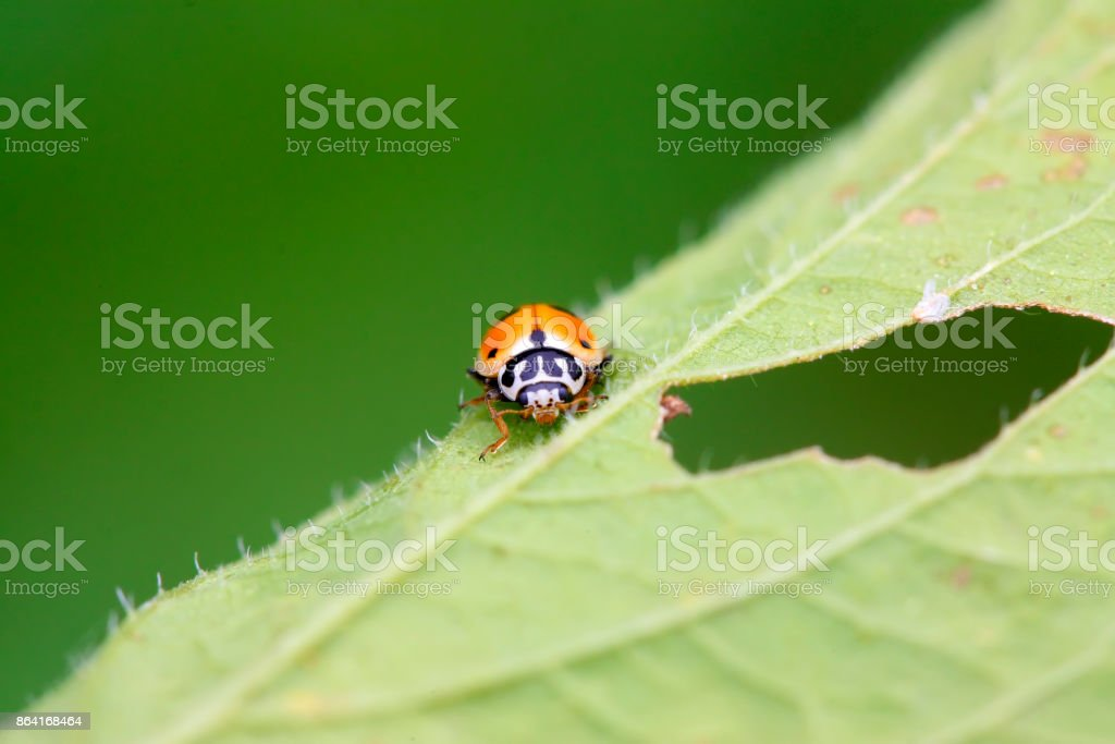 Ladybug on the grass, closeup of photo royalty-free stock photo