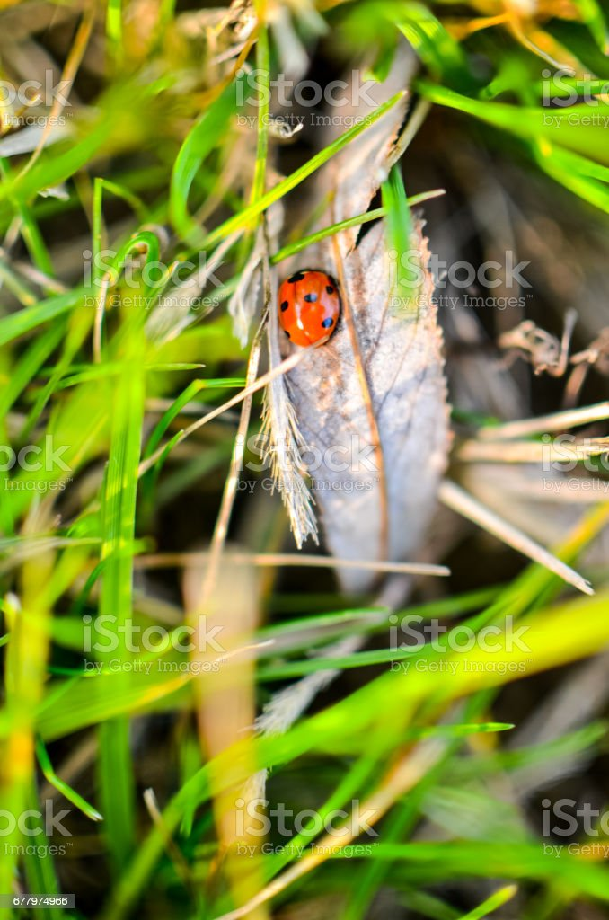 Ladybug on the green grass royalty-free stock photo