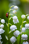 Ladybug on the lily of the valley