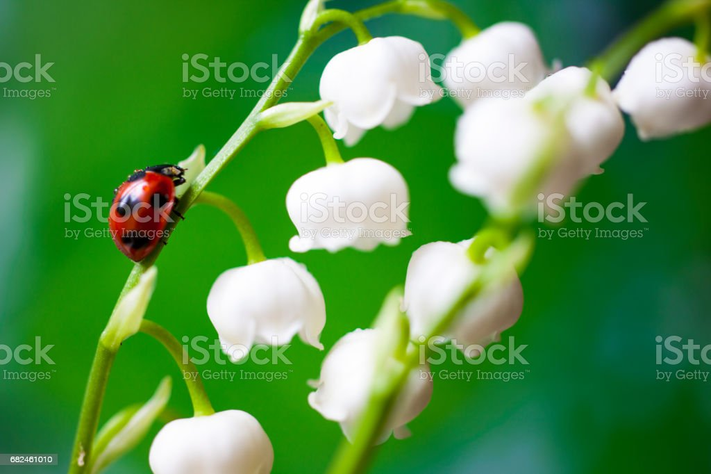 Ladybug on the lily of the valley – zdjęcie