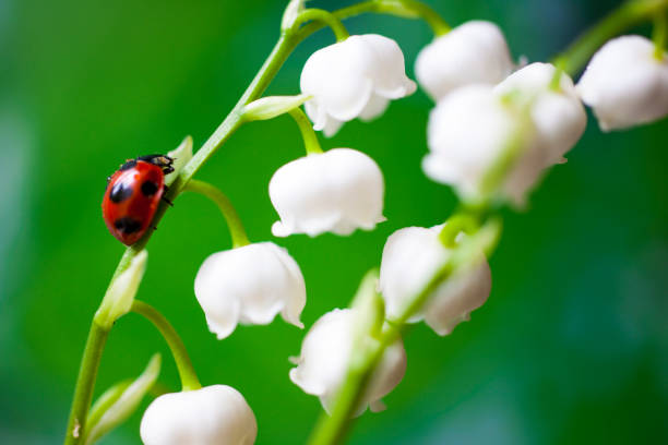 Ladybug on the lily of the valley stock photo