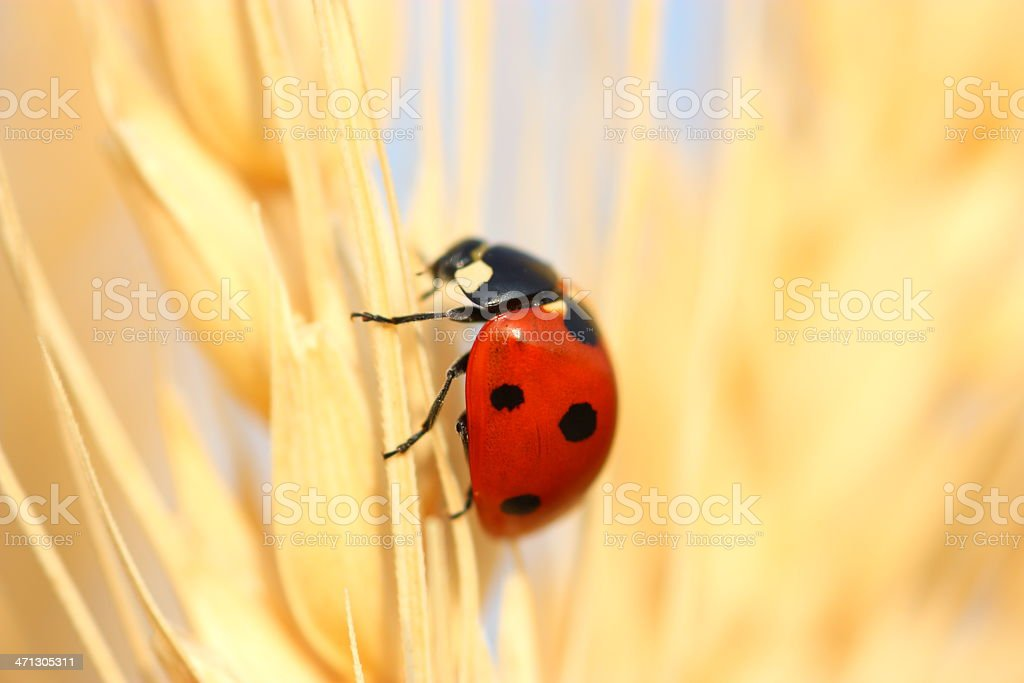 Ladybug on wheat royalty-free stock photo