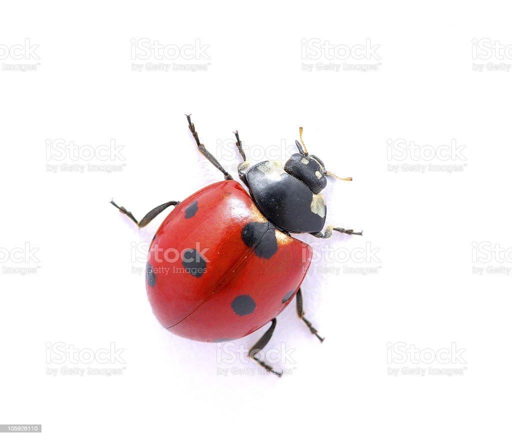 Ladybug  on  white stock photo