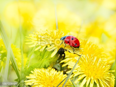 Ladybug on yellow dandelion flowers. Bright vibrant Sunny spring background.