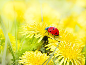 Ladybug on yellow dandelion flowers. Bright vibrant Sunny spring background.