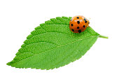 Closeup of single ladybug insect over green leaf,Isolated on white background