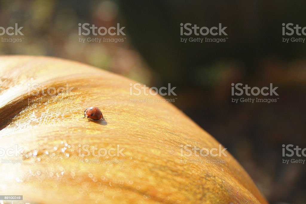 Ladybug Perched on a Pumpkin royalty-free stock photo